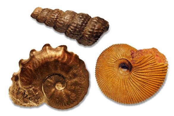 Verschiedene_Ammoniten